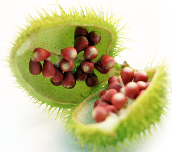 Annatto seed opened to expose the inner seeds